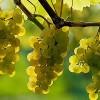 A szőlő jótékony hatásai szervezetünkre
