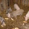 Állategészség védelem: A zúzógyomor sorvadása és az oldhatatlan grittek