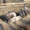 Állategészség védelem: A hörghurut (bronchitis)