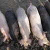 Állategészség védelem: Vérző seb