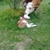 Állategészség védelem: Az ellési bénulás