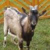 Állategészség védelem: Az involúciós időszak rendellenességei