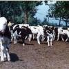 Állategészség védelem: A szarvasmarha vírusos hasmenése