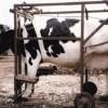 Állategészség védelem: A bilirubin (és oxidált alakja, a biliverdin) felhalmozódása