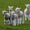 Állategészség védelem: Adeno- és egyéb vírusok okozta tüdőgyulladás