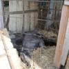 Állategészség védelem: Az elhullás és a boncolás