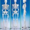 Csont és izom kapcsolata