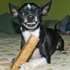 Kutyák fogazatának rendellenességei