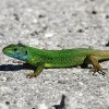 Zöld gyík Lacerta viridis életmódja