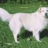 Az atlasz hegyi kutya