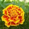 Bársonyvirág, büdöske