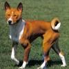 Az ugatni nem tudó kutya a basenji