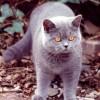 A brit rövid szőrű macska