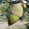 A fák virágpora: Mogyorófa