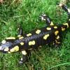 Foltos szalamandra tápláléka