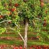 Gyümölcs a kiskertben