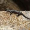 Alpesi szalamandra életmódja