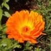 Körömvirág krém sk