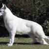 A kanadai fehér juhászkutya