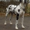 A  dog német, vagy dán?