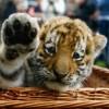 Kihalás határán a tigrisek