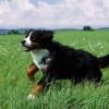 Házőrző kutya idomítása