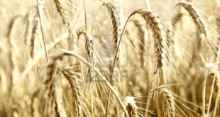 5339942-wonderful-barley-field