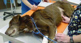 A kutyák vérvizsgálata
