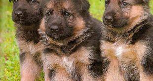 A kutya mandulája és gégéje