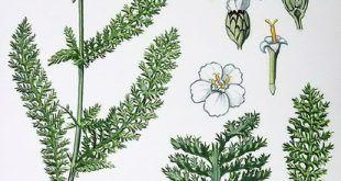 Achillea_millefolium_közönséges_cickafark