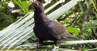 Coracopsis_vasa_-Madagascar-8