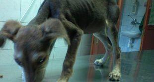 Kutyák vérszegénysége