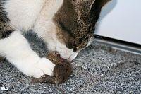 Macska egérrel1