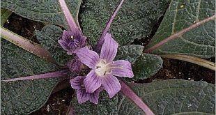 Mandrake (Mandragora autumnalis)714