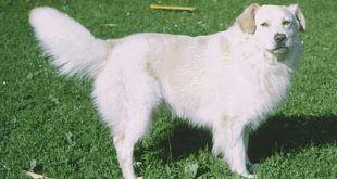 atlasz-hegysegi-kutya1