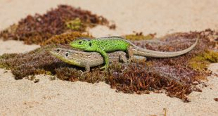 copulating-sand-lizards