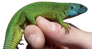 europeangreenlizard-lacertaviridis[1]