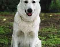 fehér juhászkutya