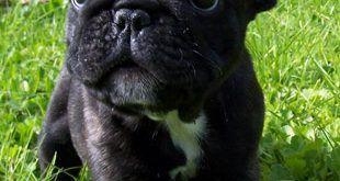 francia-bulldog-kutya-kutyakolyok