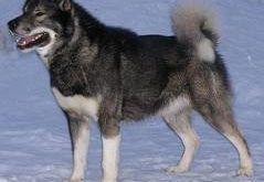 gronlandi_kutya1