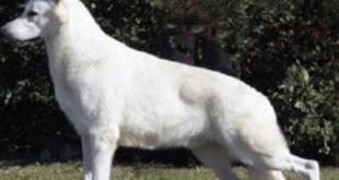 kanadai fehér juhász