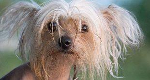 kutyabetegség szeborrea