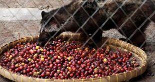 malaji-palmasodro-luwak