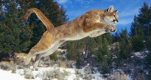 raw_power_cougar-normal