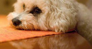 kutya-allergia-terapia