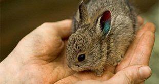 091012_pygmy_rabbit_lg