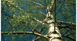 birch_tree_nature-11877